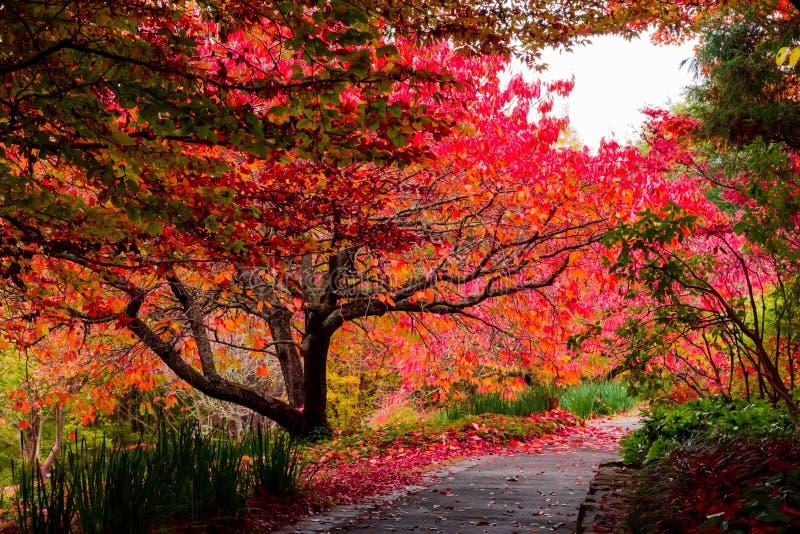 Herbstfallbaum verlässt neben Bahn an botanischen Gärten Mt Tomah, blaue Berge, Australien stockfotos