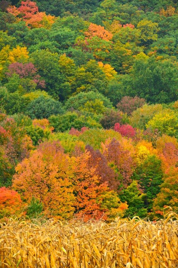Herbstfarben hinter einem Feld des reifen Mais bereit zur Ernte in a stockfotografie