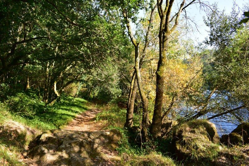 Herbstfarben im Waldweg, -bäumen und -fluß Rot und Orange färbt Efeublattnahaufnahme Galizien, Spanien, sonniger Tag stockbilder