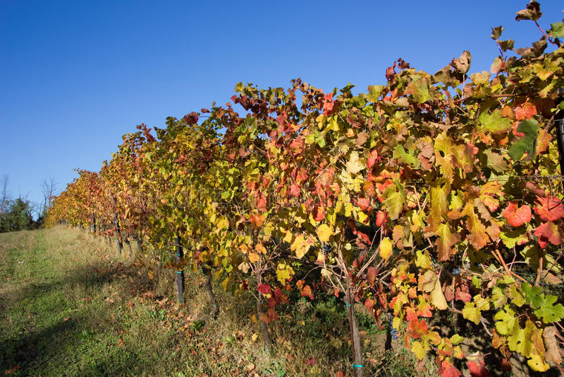 Herbstfarben im Weinberg stockbilder