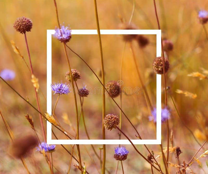 Herbstfeldzusammensetzungs-Teufelstückchenskabiose der Weinlese weiche getonte mit weißem Bilderrahmen Kopieren Sie Platz Feld de stockfoto
