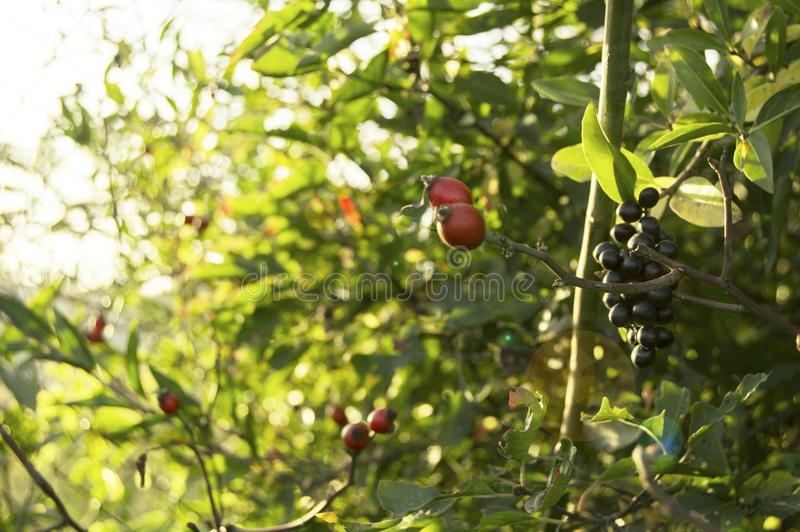 Herbstfrüchte auf dem Busch stockfotos