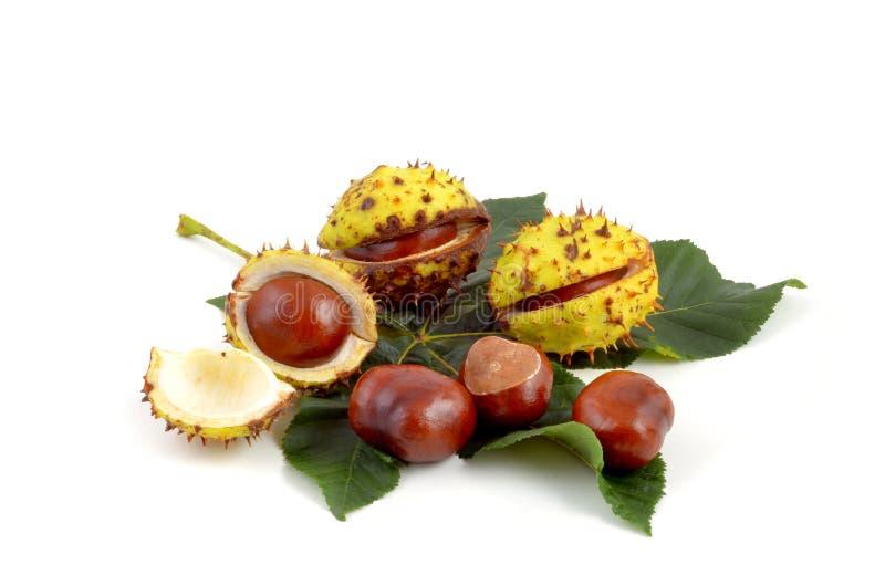 Herbstfrucht - Kastanie lizenzfreies stockfoto