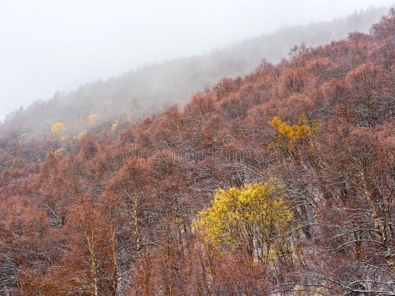 Herbstgebirgswald im Nebel Bäume mit den Gelben und Rotblättern Schöner natürlicher Hintergrund lizenzfreie stockfotos