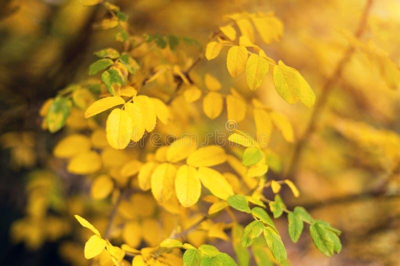 Herbstgelb lässt Hintergrund im Herbstpark Jahreszeitänderungskonzept, freundlicher Herbst der Natur lizenzfreies stockfoto