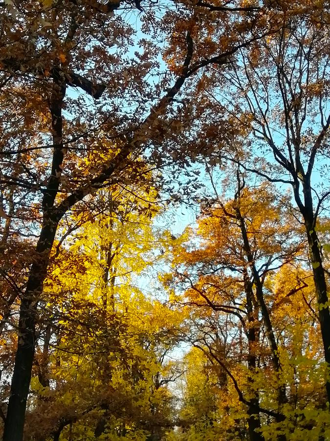 Herbstgelbbl?tter von B?umen Blauer Himmel lizenzfreie stockfotos