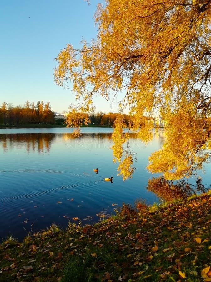 Herbstgelbbl?tter von B?umen Schwimmen mit zwei Enten im Teich Blauer Himmel und Wasser lizenzfreie stockbilder