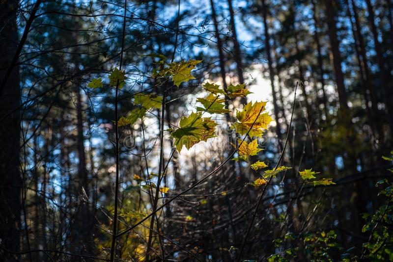 Herbstgold f?rbte Bl?tter mit Unsch?rfehintergrund und -Baumasten stockfotos