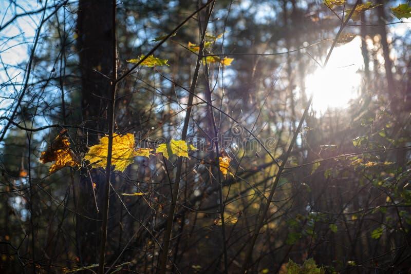 Herbstgold f?rbte Bl?tter mit Unsch?rfehintergrund und -Baumasten stockfotografie
