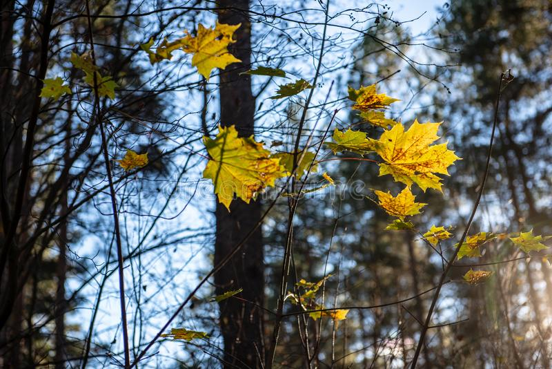 Herbstgold f?rbte Bl?tter mit Unsch?rfehintergrund und -Baumasten lizenzfreie stockfotografie