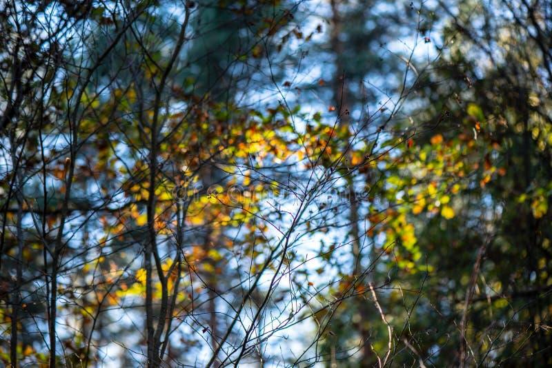 Herbstgold f?rbte Bl?tter mit Unsch?rfehintergrund und -Baumasten lizenzfreie stockfotos