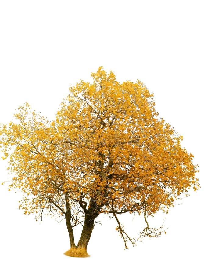 Herbstgoldbaum lizenzfreies stockbild