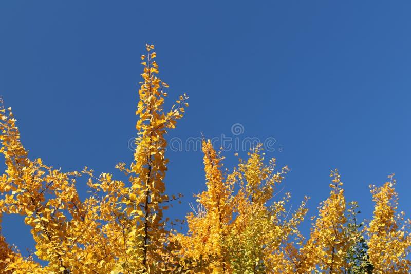 Herbstgrußkarte mit blauem Hintergrund und gelben Herbstniederlassungen Copispeses für die Aufschrift Vibrierender Fall gelbes go stockfotografie