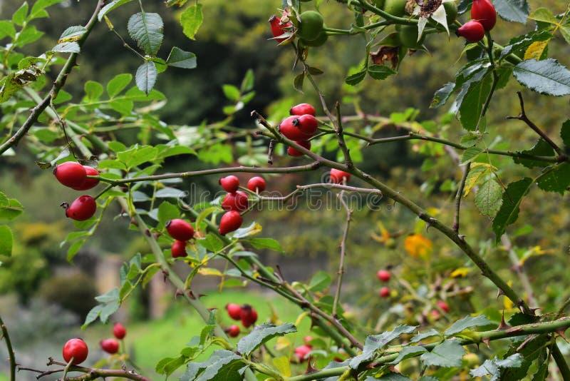 Herbsthagebutten in der englischen Landschaft stockfotografie