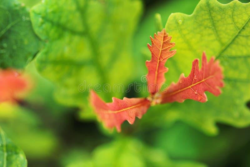 Herbsthintergrund mit roten Blättern der Eiche stockbilder
