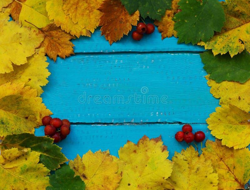 Herbsthintergrundgelbe und grüne Blätter und rote Beeren von Rowan stockbilder