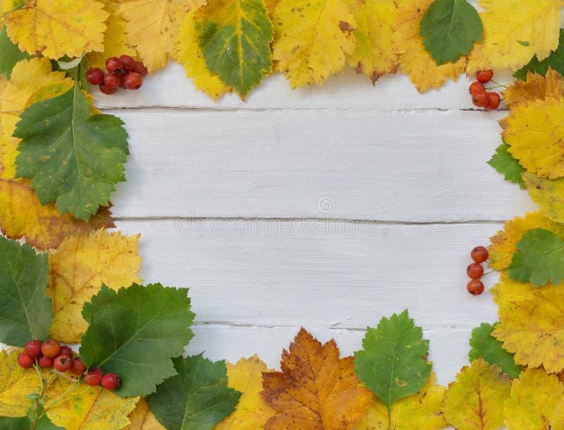 Herbsthintergrundgelbe und grüne Blätter und rote Beeren von Rowan stockfotografie