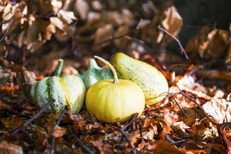 Herbstkürbise häufen in den getrockneten Blättern, Fall harvestin im Freien lizenzfreie stockfotos