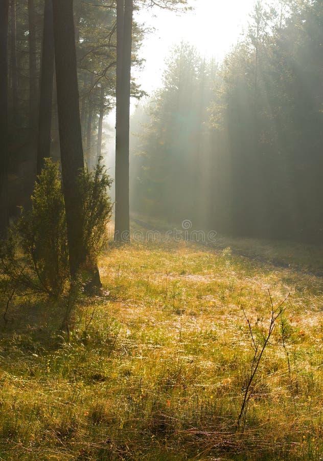 Download Herbstkieferwald stockfoto. Bild von sonnenaufgang, frech - 27733468
