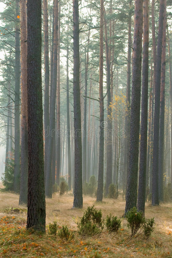 Download Herbstkieferwald stockbild. Bild von schön, phantasie - 27733573