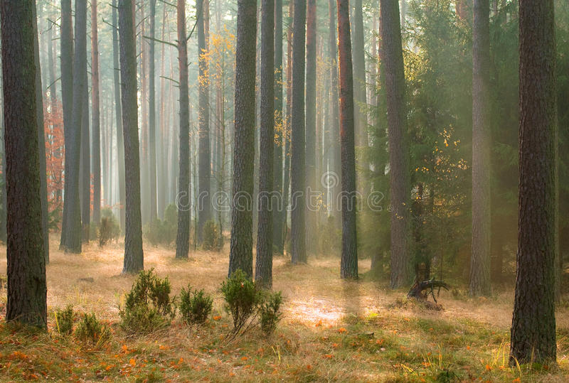 Download Herbstkieferwald stockfoto. Bild von schön, kabel, barke - 27733618