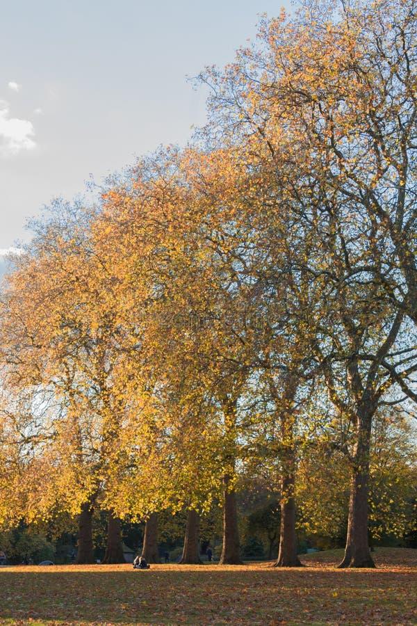 Herbstlandschaft, Baumreihe mit goldenem farbigem Blätter eingelassenem Hyde Park, London stockbild