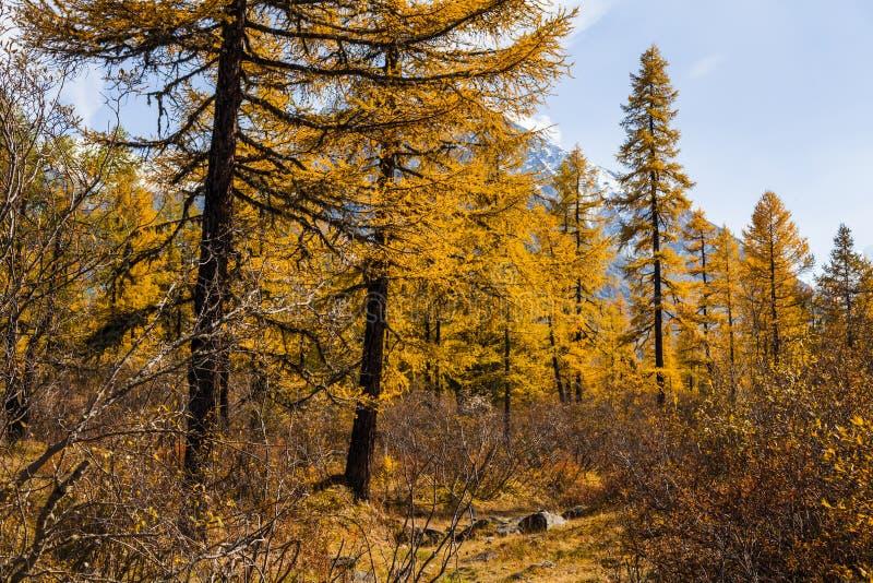 Herbstlandschaft in den Bergen mit goldenen Lärchen kanada lizenzfreies stockbild