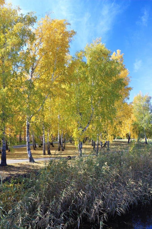 Herbstlandschaft: Gold-birchs im Park stockfotografie