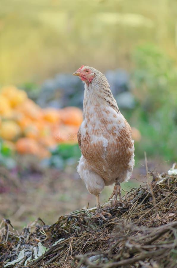 Herbstlandschaft mit Henne Henne auf Herbstlandschaft lizenzfreies stockbild