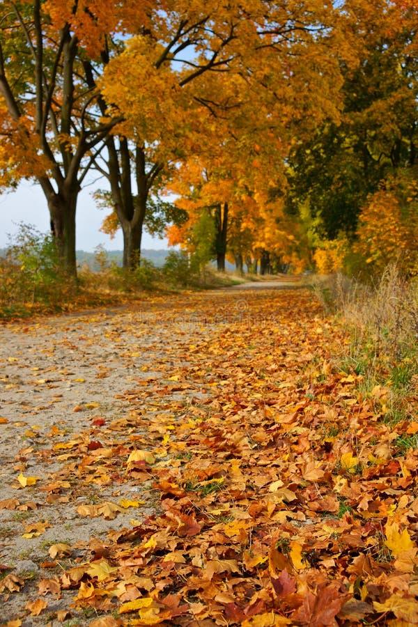 Herbstlaub in der Allee der Ahorne Acer L lizenzfreies stockfoto