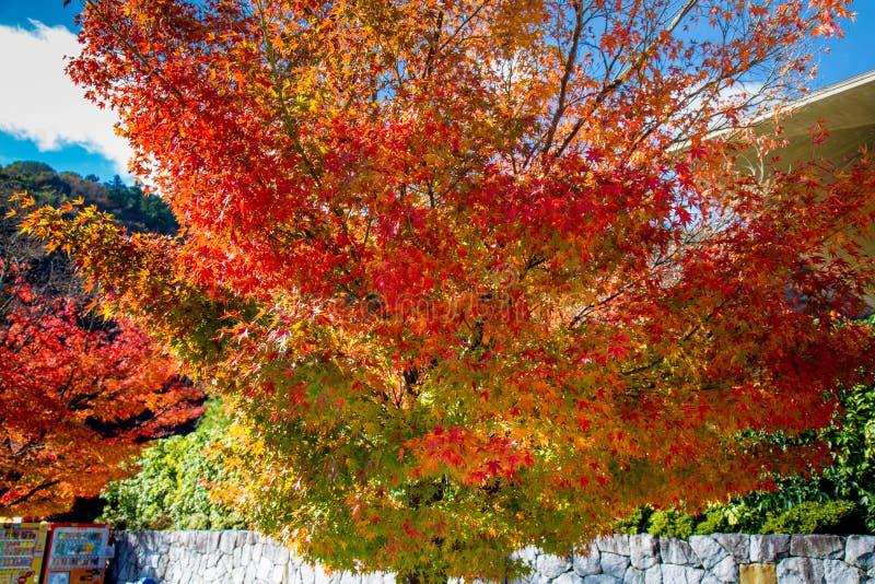Herbstlaub des Rotahornblattes verlässt Hintergrund stockfoto