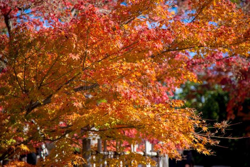 Herbstlaub des Rotahornblattes verlässt Hintergrund lizenzfreie stockfotos