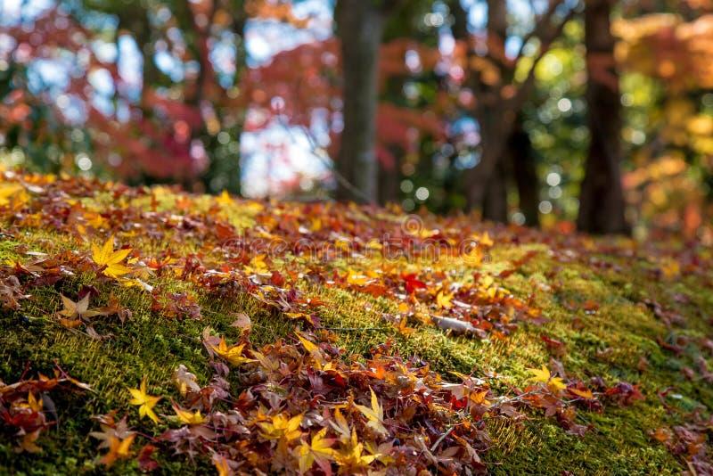 Herbstlaub des Rotahornblattes verlässt Hintergrund stockbild