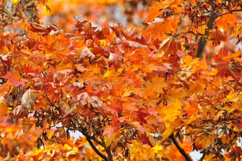 Herbstlaub im japanischen Park, Japan stockbild