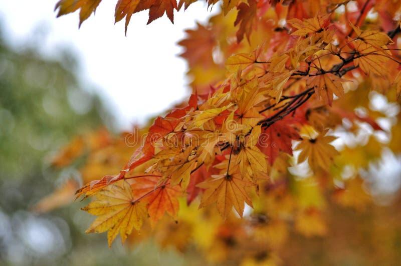 Herbstlaub im japanischen Park, Japan stockfotos
