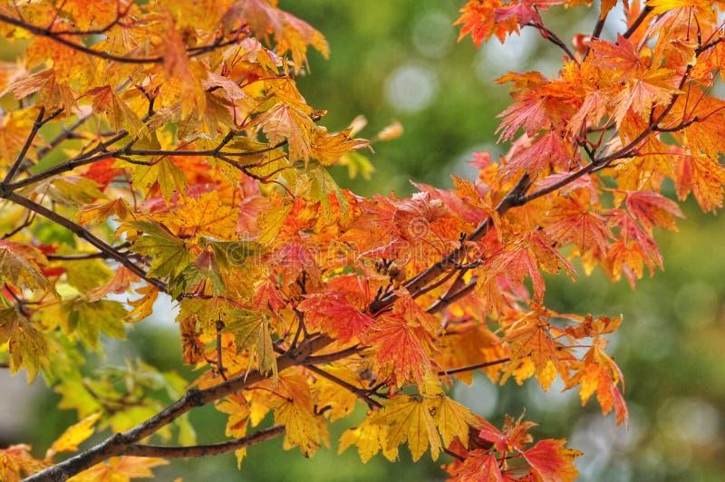 Herbstlaub im japanischen Park, Japan lizenzfreie stockfotografie