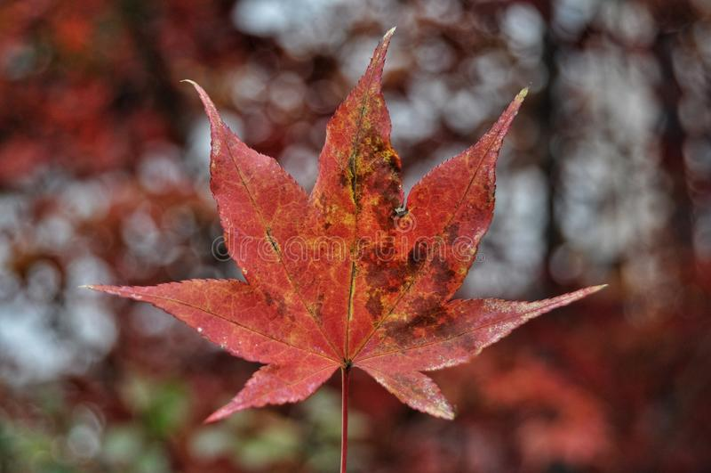 Herbstlaub im japanischen Park, Japan stockbilder