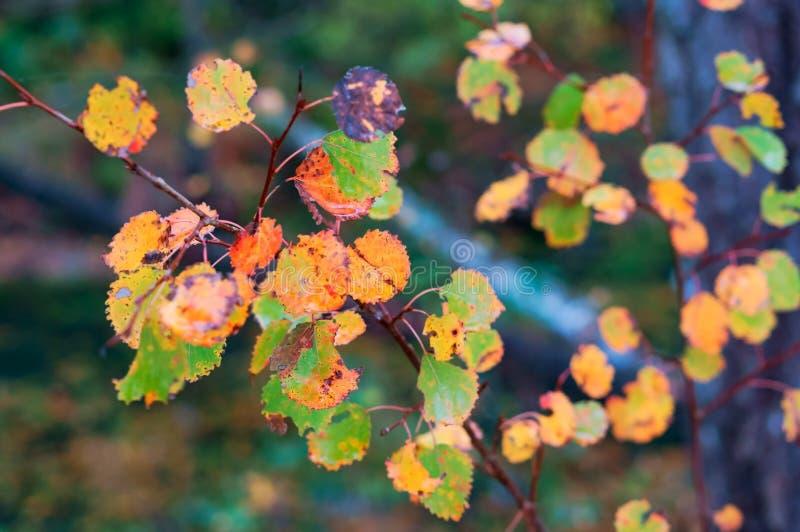Herbstlaub, rote Blätter der Espe lizenzfreie stockbilder