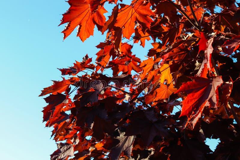 Herbstlaub schließt Ansicht unter dem blauen Himmel lizenzfreie stockfotos