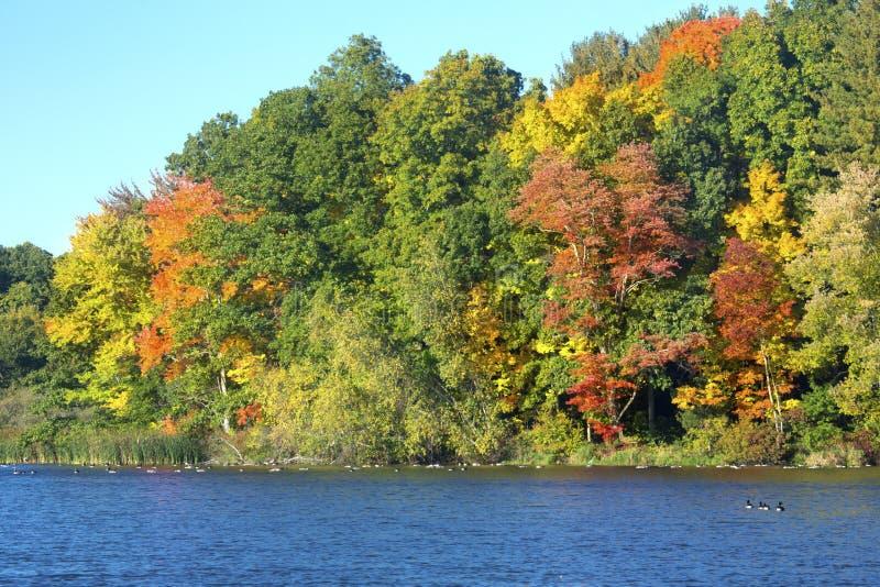Herbstlaub und Gänse auf Mühle stauen, Connecticut lizenzfreie stockfotos
