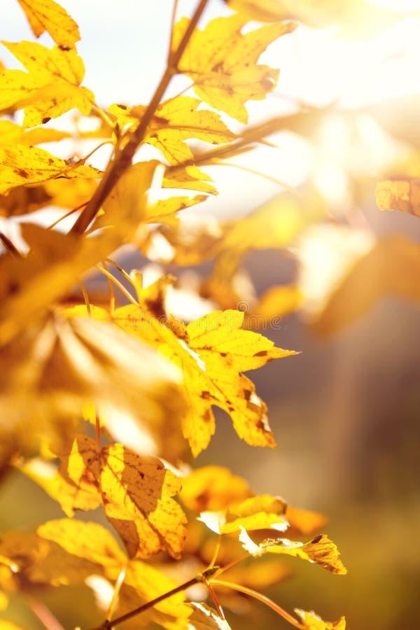 Herbstlaub von einem Ahornbaum mit Sonnenstrahlen lizenzfreie stockfotografie