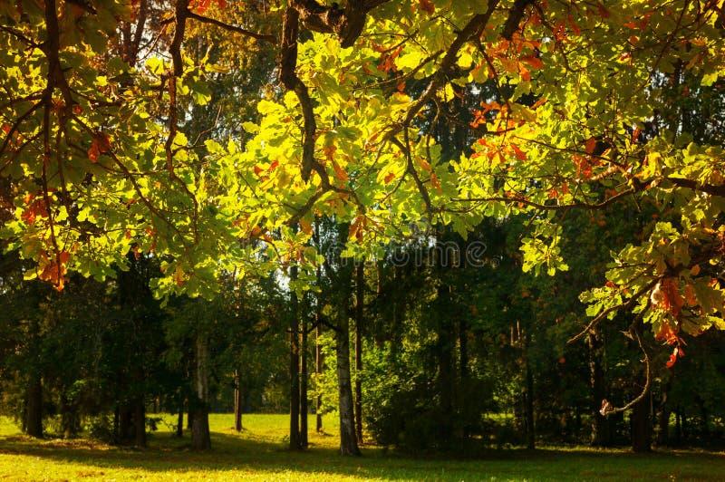 Herbstlaubhintergrund - Herbsteichenniederlassung mit dem orange Laub beleuchtet durch Sonnenlicht Sonnige Herbstlandschaft stockfoto