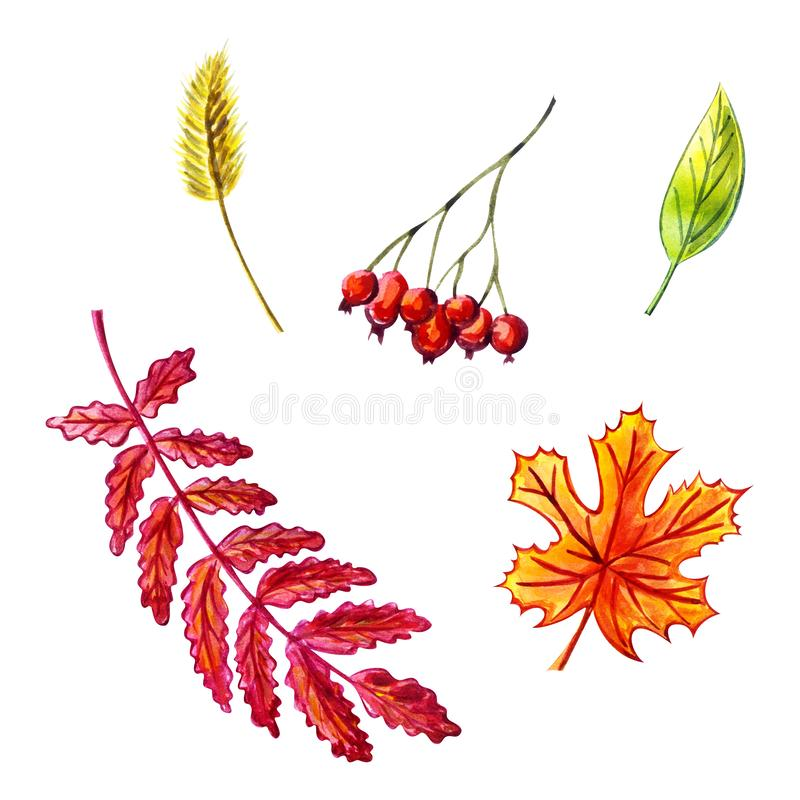 Herbstlaubsatz: Ebereschenblatt, Ebereschenbeeren, Ahornblatt, Grasspitze, grünes Blatt Dekoratives Bild einer Flugwesenschwalbe  vektor abbildung