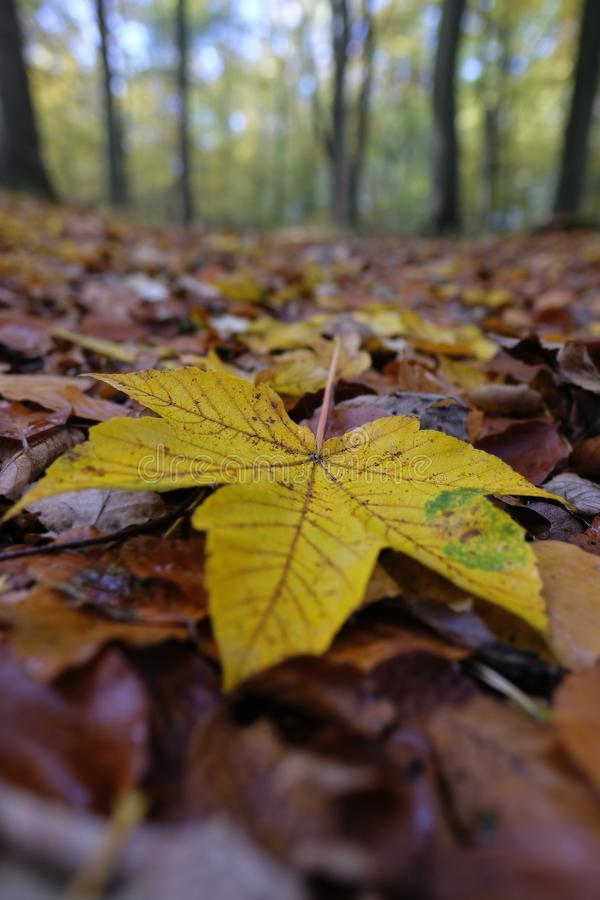Autumnal colored maple leaf royalty free stock photography