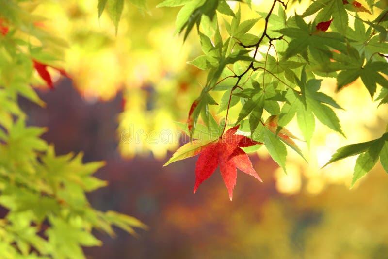 Herbstliche farbige Blätter, Ahorn lizenzfreie stockfotografie