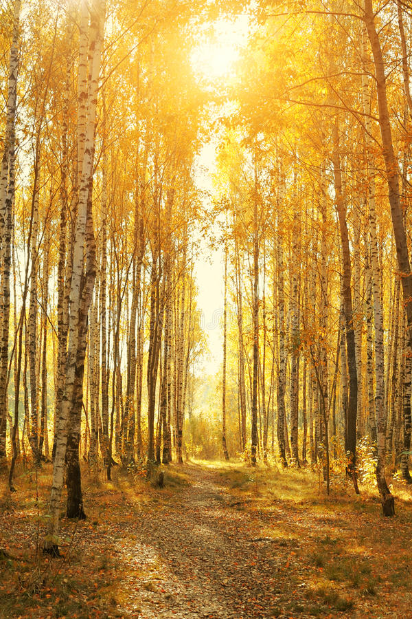 Herbstliche Gasse der Birke lizenzfreie stockfotografie