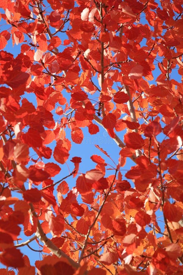 Herbstliche Rotblätter lizenzfreie stockfotos