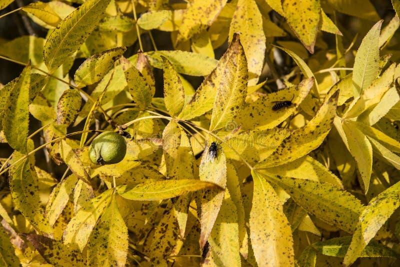 Herbstliche Walnuss verlässt Hintergrund lizenzfreies stockbild