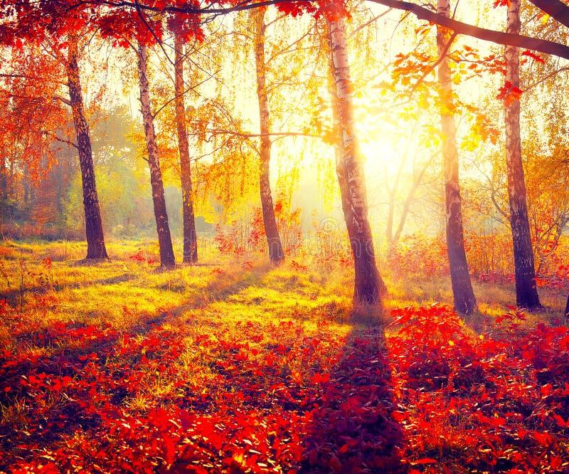 Herbstlicher Park Birken mit orange Blättern lizenzfreie stockfotos