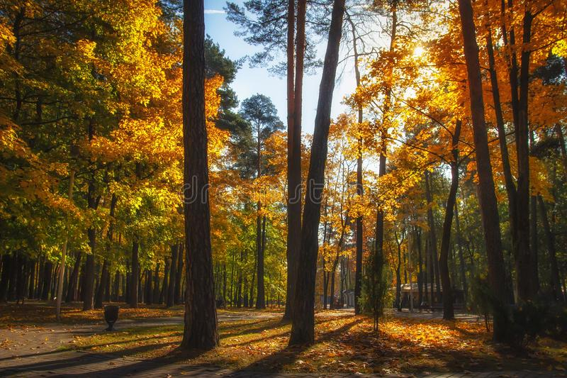 Herbstlicher Park Fall Bunte Herbstnatur im sonnigen Park Erstaunliche Landschaft mit hellem Sonnenlicht Vibrierender Wald der La stockbild
